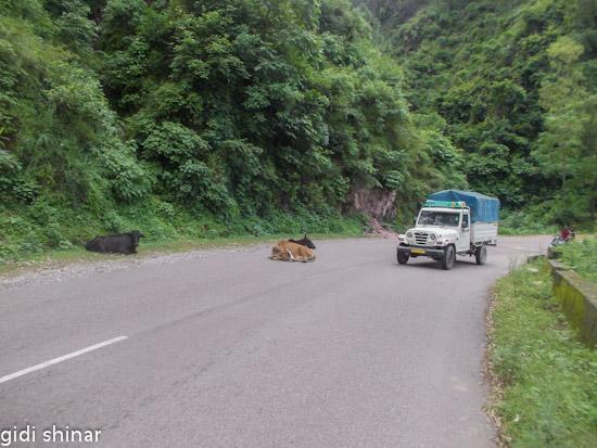 פרות על הכביש