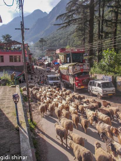 כבשים בכביש